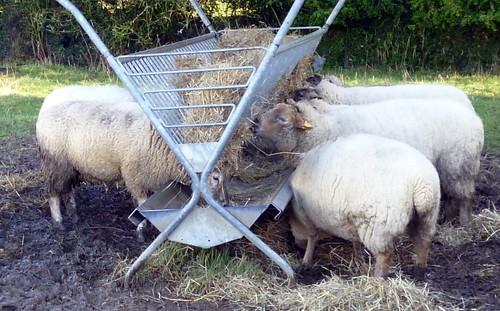 Schafe an der Raufe