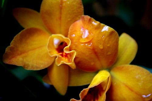 Orchid with Dew