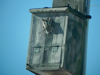 Screech owl in nest box