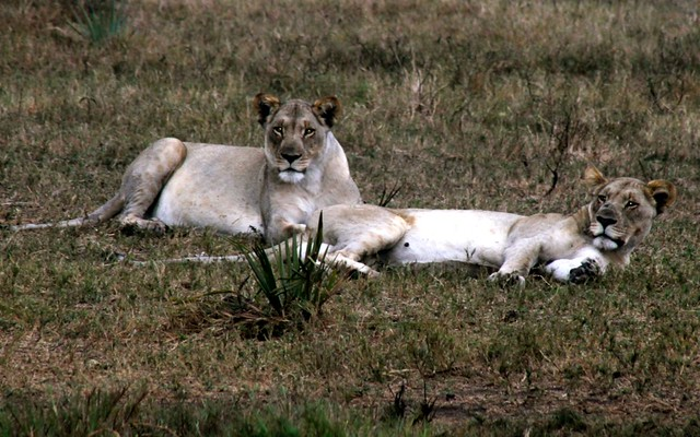 Lions in Tembe Elephant Park, South Africa
