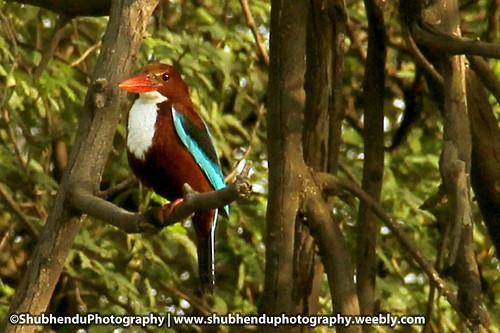 Kingfisher-4 by ShubhenduPhotography
