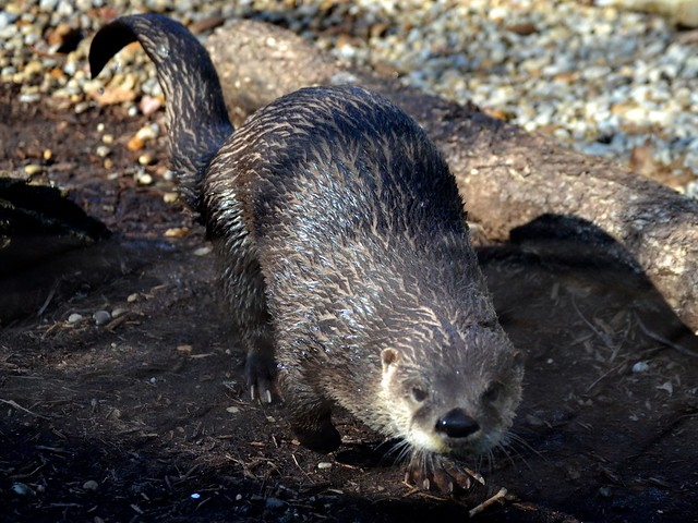 Approaching Otter