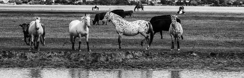 Port Meadow Horses