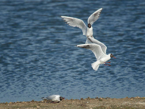 Gull fight