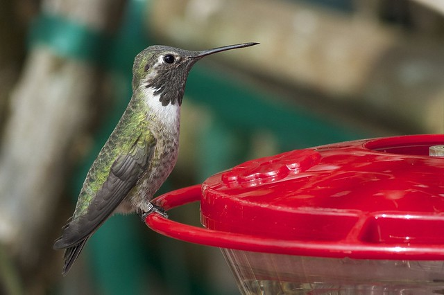 Immature male Anna's Hummingbird - Newark, DE (Photo by Tom Johnson)