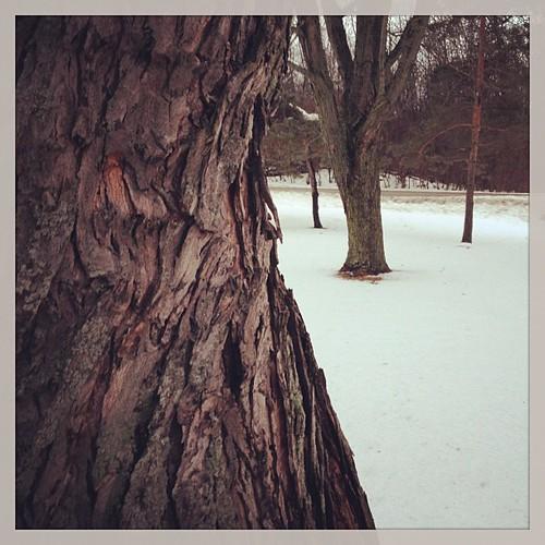 Feb 15 - part of a tree {bark of a Maple} #photoaday #tree