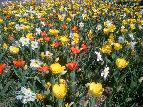 tulips, daffodils, spring, flowers