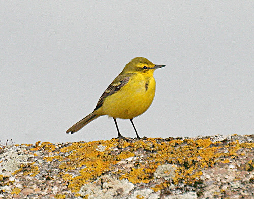 Yellow Wagtail Motacilla flava flavissima Tophill Low NR, East Yorkshire April 2013