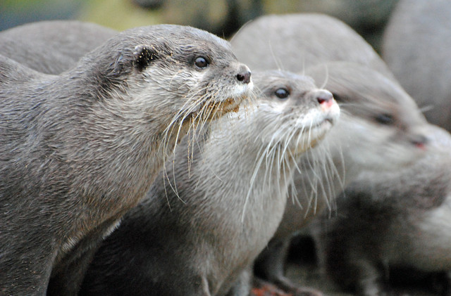 Side short of a group of grey Oriental Short-clawed Otters, the front one in focus, the others increasingly less so. All are looking intently at something off-camera.