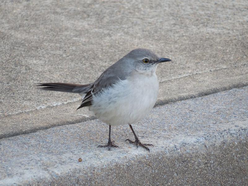Mockingbird in Kennesaw