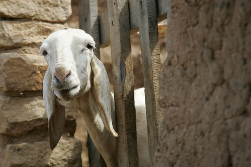 Sahelian Sheep in Bandiagara, Mali