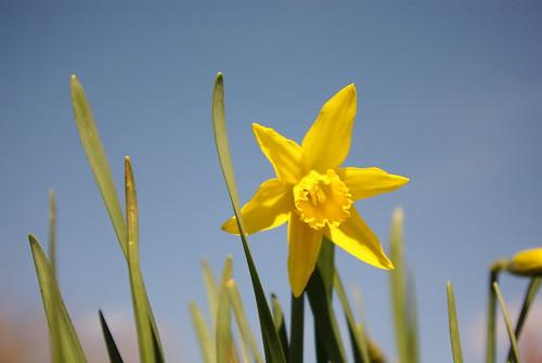 20130330-19_Daffodils - Cawston Rugby by gary.hadden