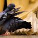 Belur Temple pigeon