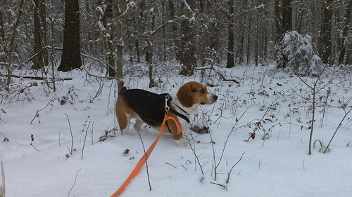 ladybug beagle playing in the snow