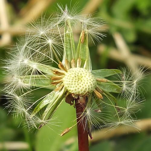 Dandelion seedhead_0004.jpg by Patricia Manhire