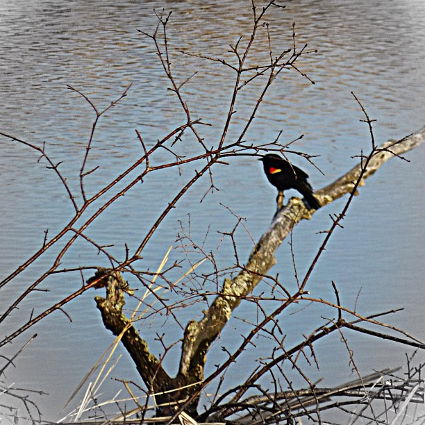 "Apr 18 - Hello! {you could hear him call out ""hello"" while basking in the early morning spring sunshine} #fmsphotoaday #redwingblackbird #princeedwardcounty"