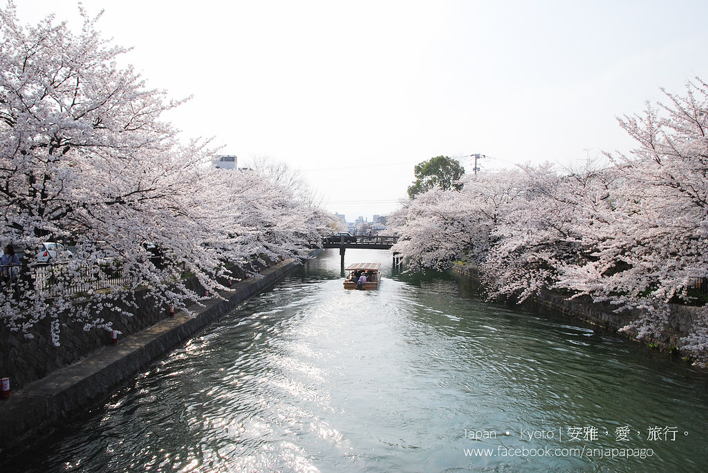 京都 冈崎疏水 赏樱