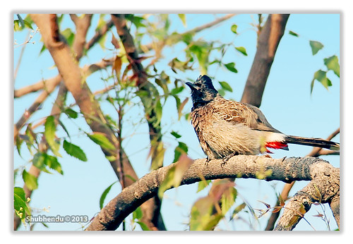 Bulbuli-Red-vented Bulbul - Pycnonotus cafer by ShubhenduPhotography