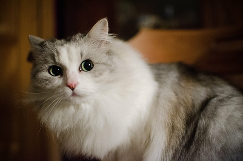 Snowflake the Cat