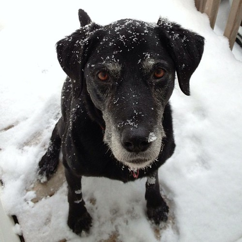 We will miss her very much. #dogs #love #labs