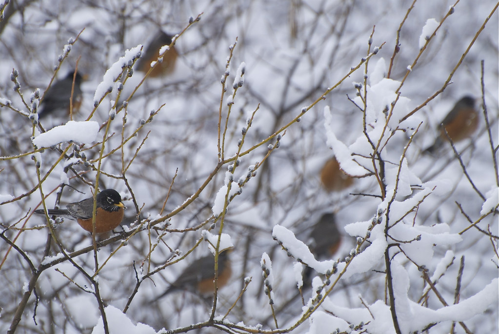 American Robins & pussywillows