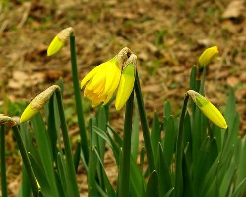 20130303-21_Baddesley Clinton - Daffodils by gary.hadden