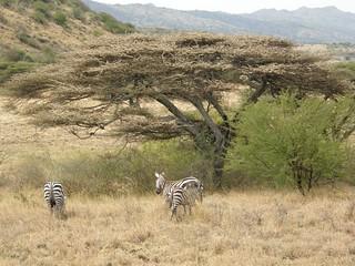 Acacias y cebras