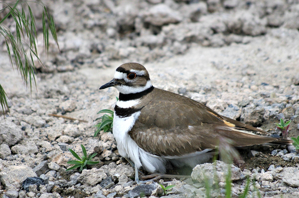 Killdeer with youngsters hiding under him/her