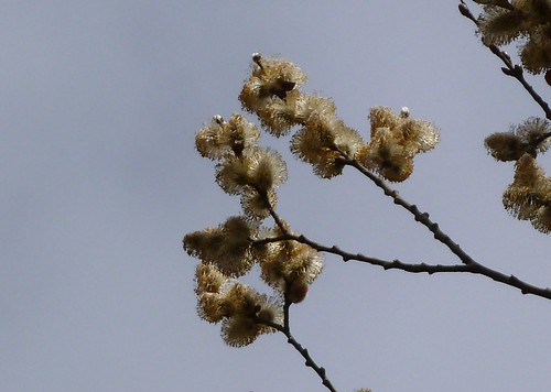 Pussy willow flowers