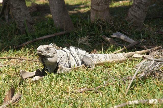 iguana 0022 Tulum, Quintana Roo, Mexico