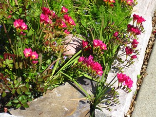 Freesia - a really fabulous bulb for Sunset zone 14.