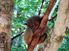 Tarsier monkeys
