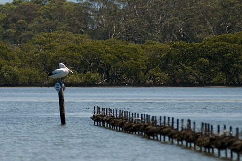 Pelican on Australian Oyster Farm