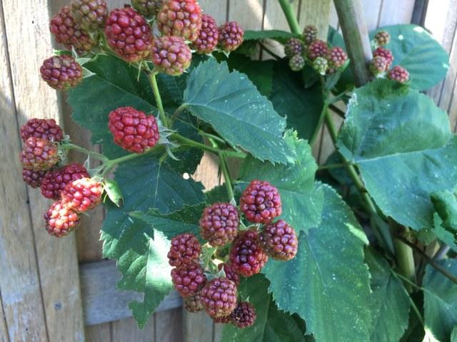 bramen moestuin frambozen raspberry blueberry