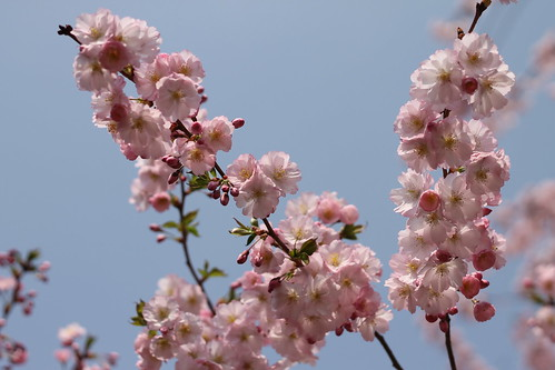 P12 #4: Printemps. Sakura blossoms near Gutovka