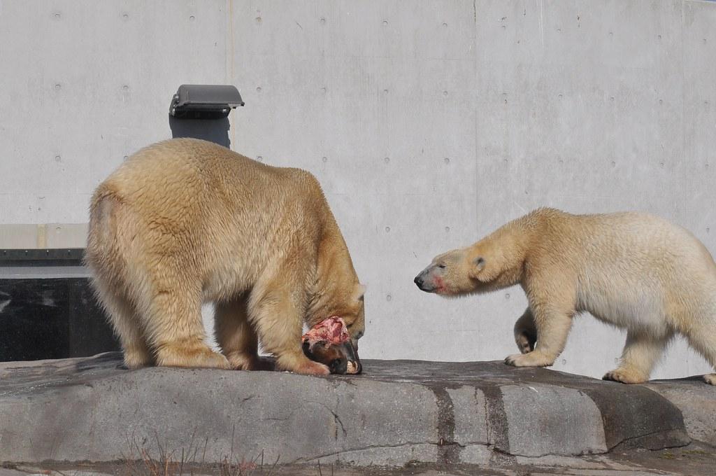 Eisbären Boris (Iwan) und Noel Im København Zoo