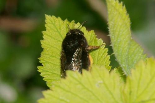 Black bee