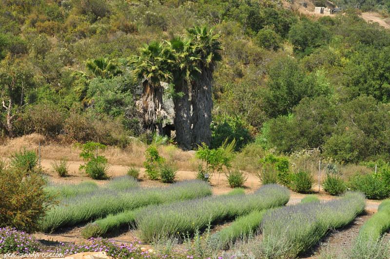 lavender_palms_web