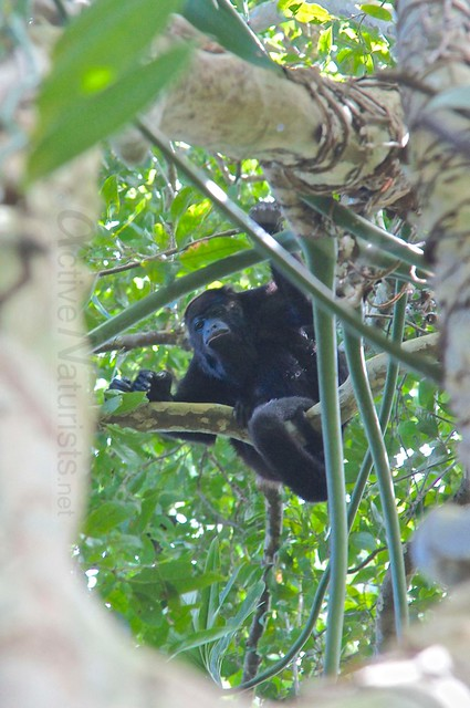 spider monkey 0005 Palenque, Chiapas, Mexico