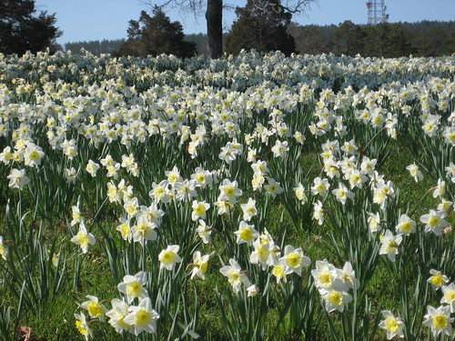daffodils at moss hollow farm