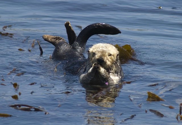 two sea otters floating in ocean waters. One is upright, front paws clasped together; the other is duck-diving, and all you can see is hind legs and a tail.