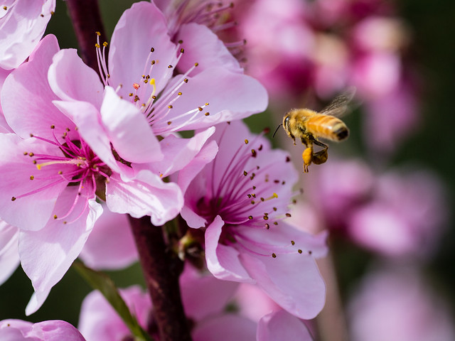 Bees with Peach Blossom. Spring 2016.