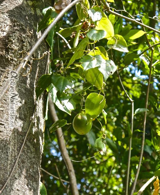passionfruit 0015 Palenque, Chiapas, Mexico