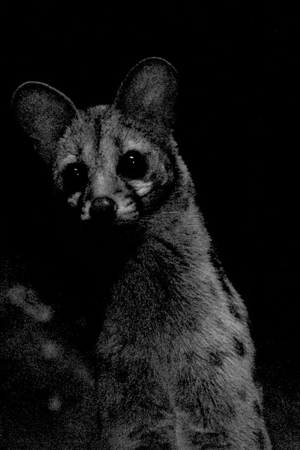 Kenneth, the Large Spotted Genet