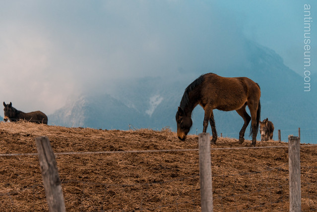 horses in the Alps