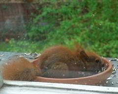 Junges Eichhörnchen 1