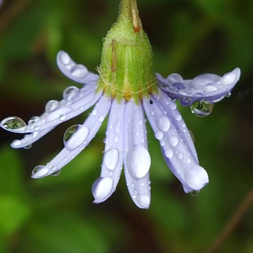 Rainy daisy by Patricia Manhire