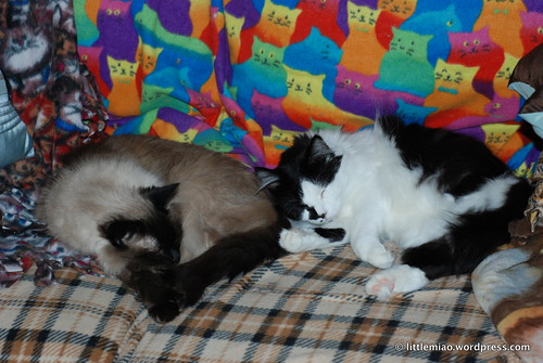 mani and sprocket napping together on the loveseat [2]