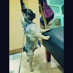 Optimus Prime, or OP, can stand straight #cutiedoggie #iPhone