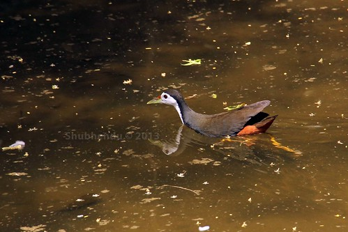 White-breasted Waterhen by ShubhenduPhotography